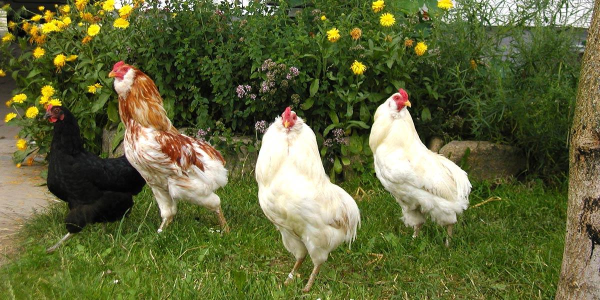 Glückliche Hühner am Prinzenhof