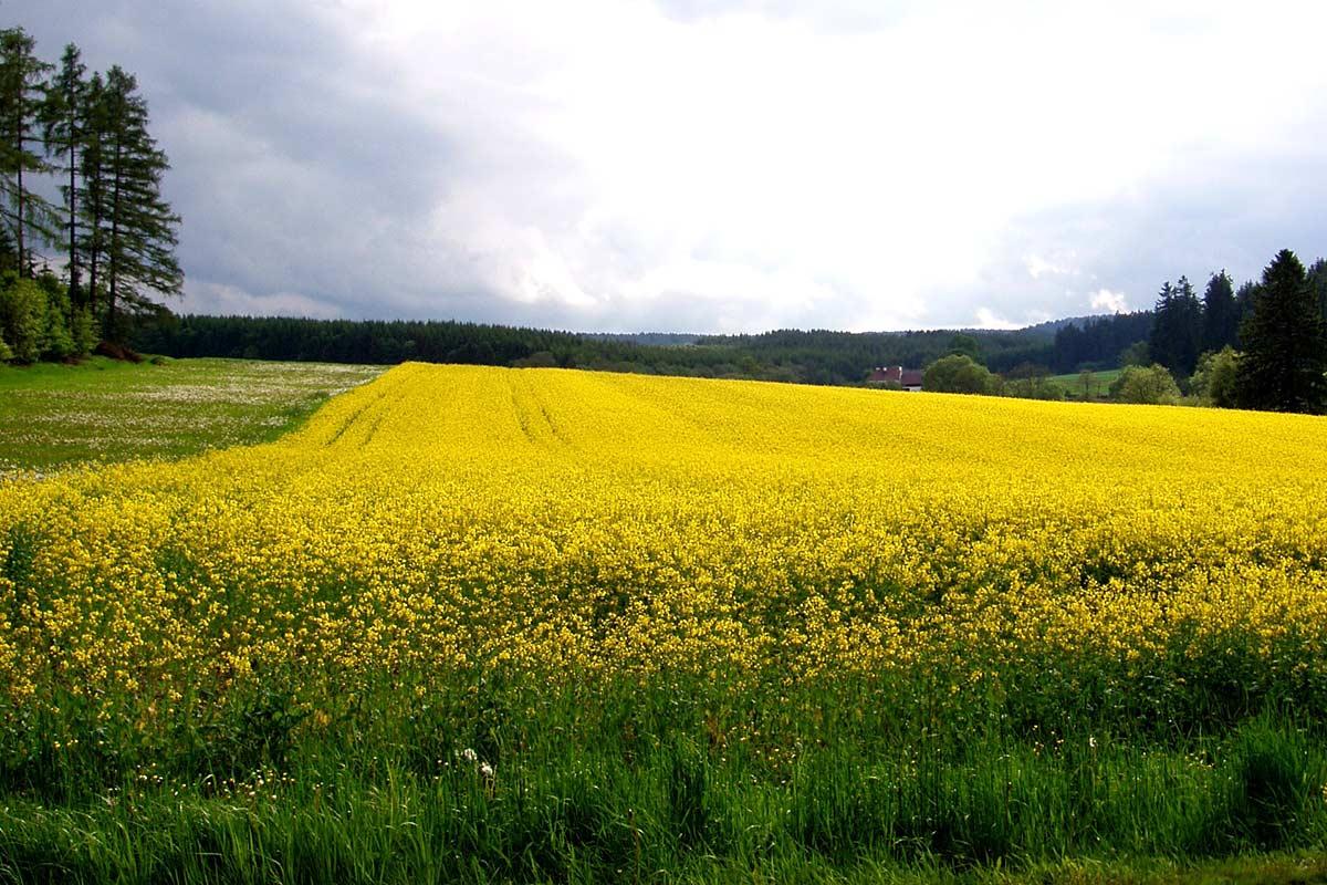 Rapsfeld, Waldviertler Hochland