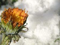 Winter-Löwenzahn am Prinzenhof